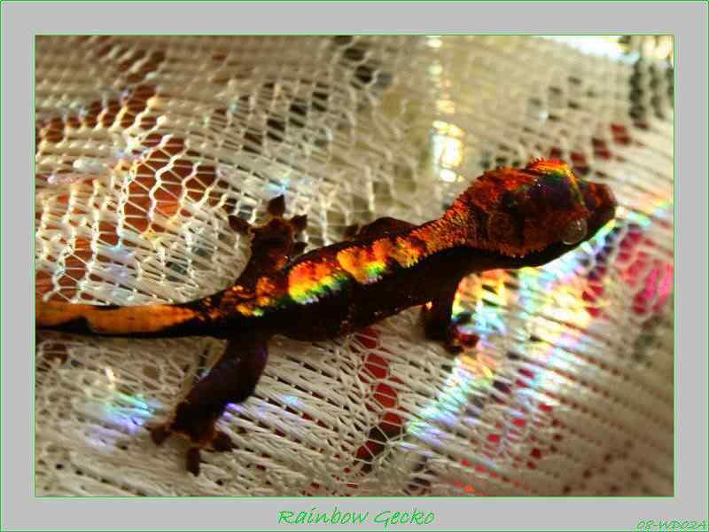 RainbowGecko04 Top seres coloridos