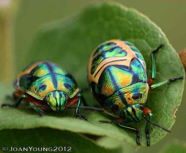 Scutelleridae CalidaeDregii RainbowShieldBug N IMG 34491 Top seres coloridos