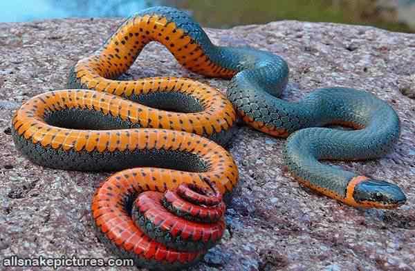 Very Colorful Snake Top seres coloridos