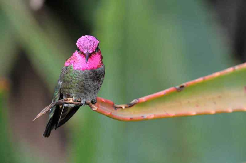 annas hummingbird male Top seres coloridos