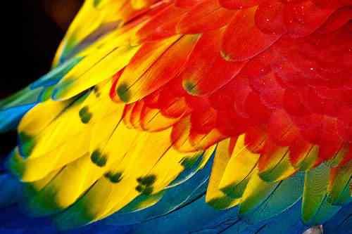 araracanga ou arara piranga 12 Top seres coloridos