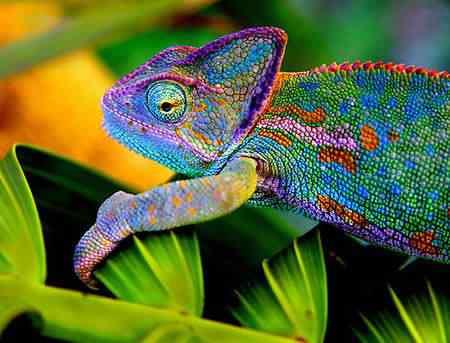 chameleon Top seres coloridos