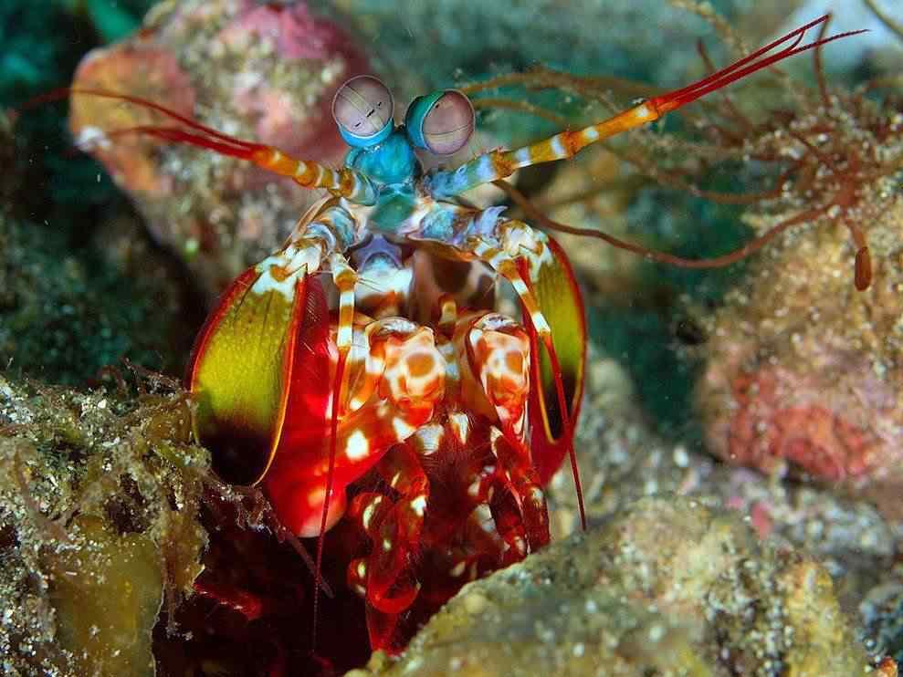 colorful04 peacock mantis shrimp 17428 990x742 Top seres coloridos