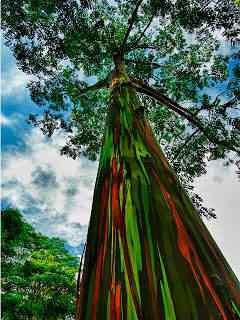 eucalipto arcoiris 88 Top seres coloridos
