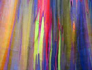 eucalipto arcoiris 99 Top seres coloridos