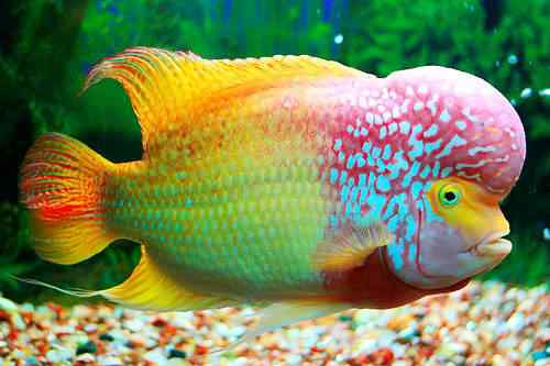 flowerhorn with red and yellow colors Top seres coloridos