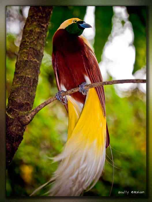 lesser Bird ofParadise Top seres coloridos