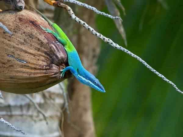 lizard on coconut cuba 10840 600x450 Top seres coloridos