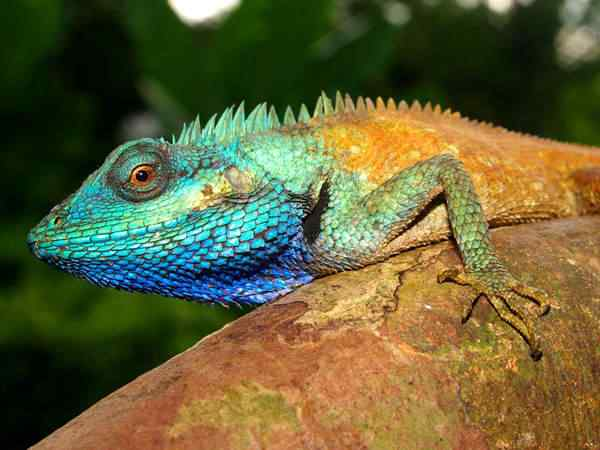 male calotes bachae lizard 63391 600x450 Top seres coloridos