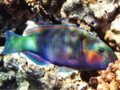 mez d8 bullethead parrotfish chlorurus sordidus 2 tm Top seres coloridos