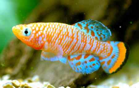 ornamental fish 1 Top seres coloridos
