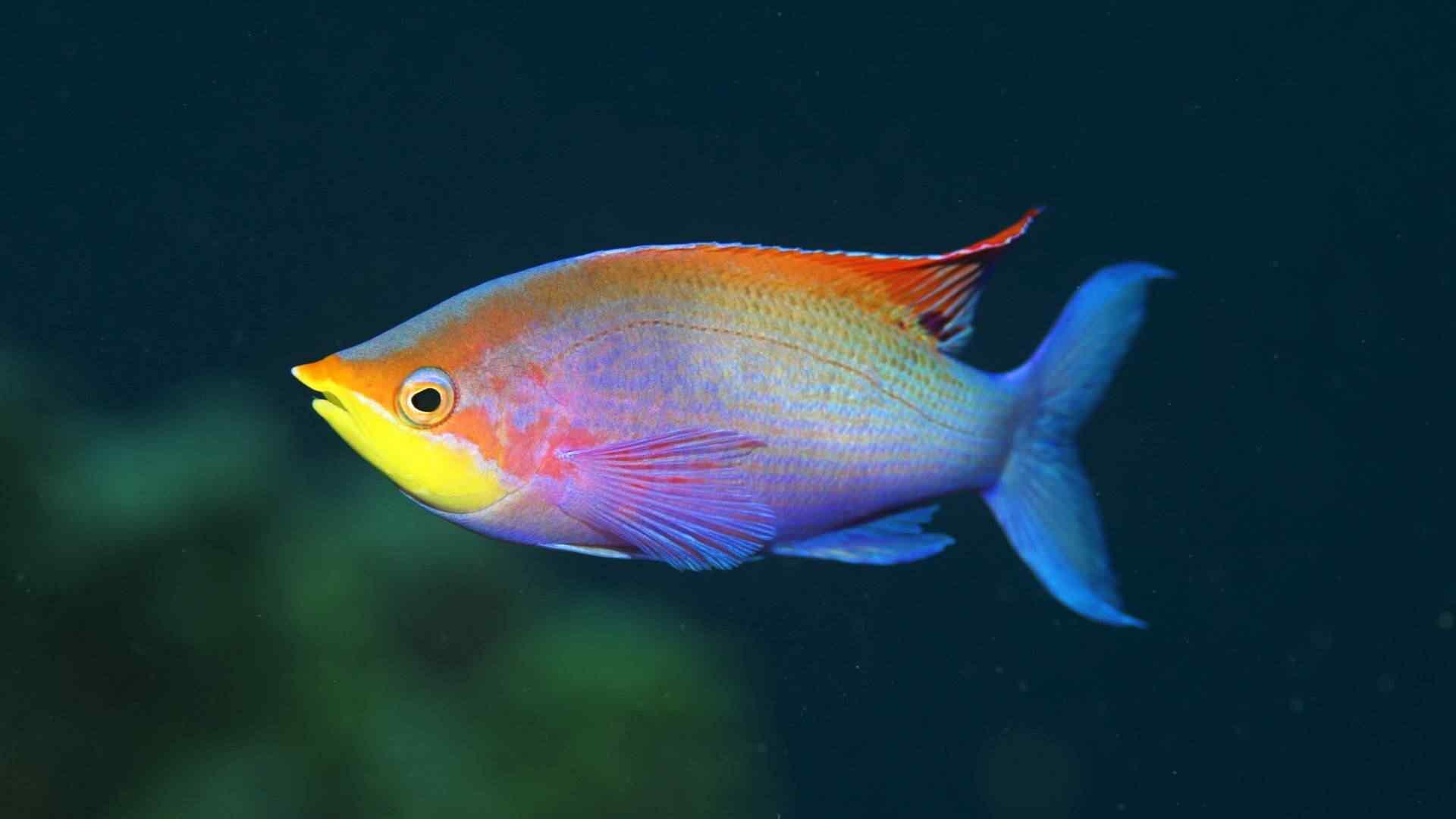 rainbow fish Top seres coloridos