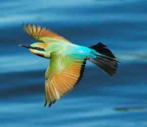 rainbow bee eater flying Top seres coloridos