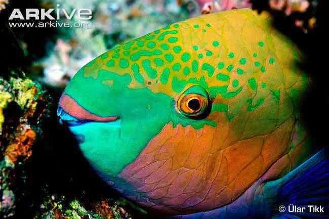 rusty parrotfish Top seres coloridos