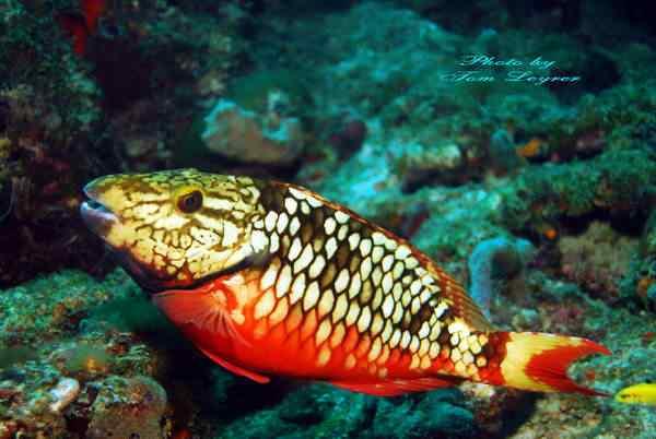 stoplight parrotfish 56tu Top seres coloridos