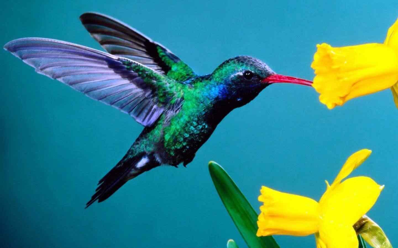 wallpaper beijaflor multicolorido 1129 Top seres coloridos