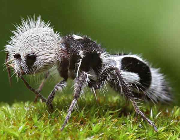 Ant A vespa louva deus e outras vespas bizarras