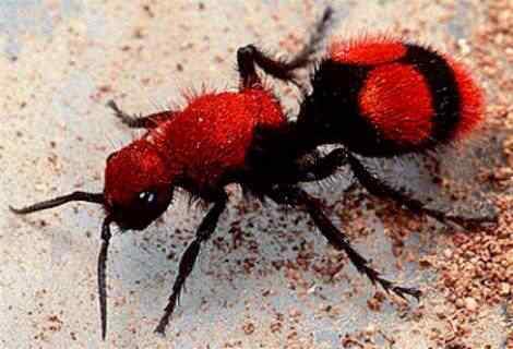Flightless Wasp A vespa louva deus e outras vespas bizarras