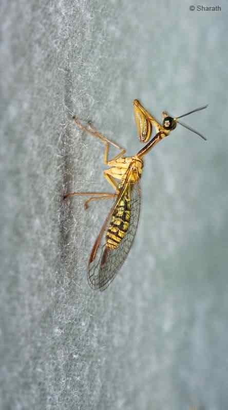 Wasp Mantis A vespa louva deus e outras vespas bizarras