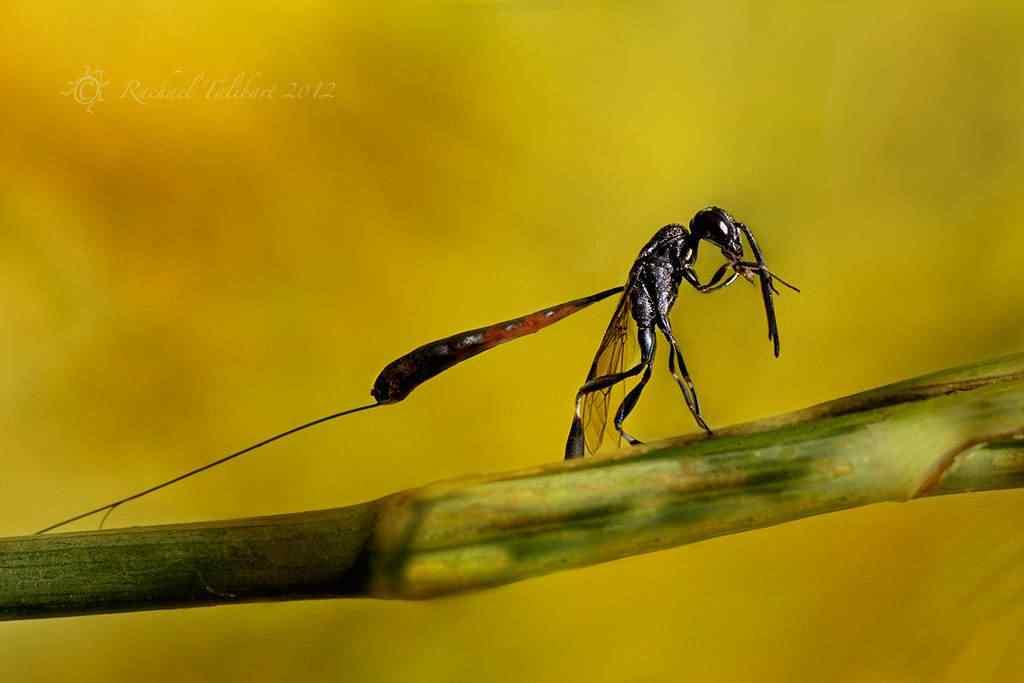 gasteruption ejaculator2 A vespa louva deus e outras vespas bizarras