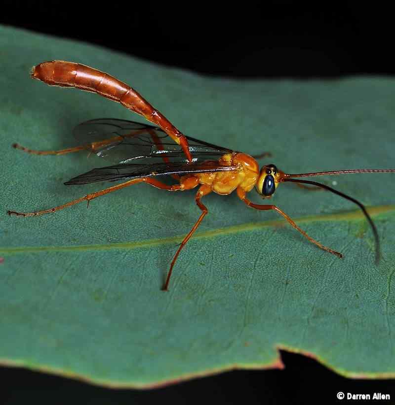 ichneumon wasp 2 A vespa louva deus e outras vespas bizarras