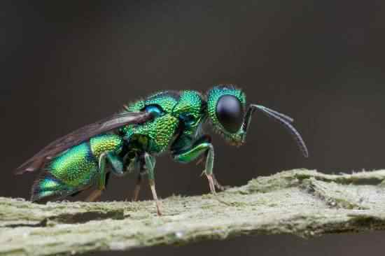 jewel wasp 550x366 1 A vespa louva deus e outras vespas bizarras