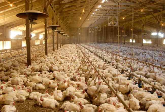 Diariamente milhões de toneladas de frango são consumidas no mundo.