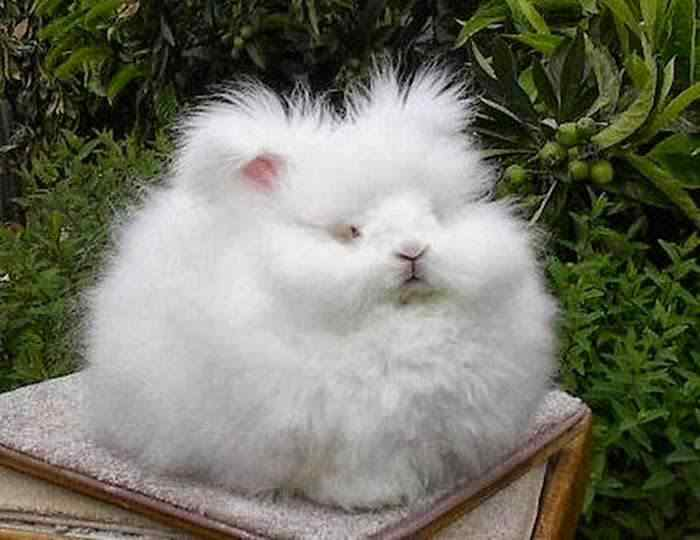 The most fluffy bunny in the world03
