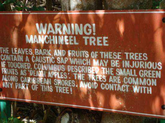 manchineel-tree-550x412