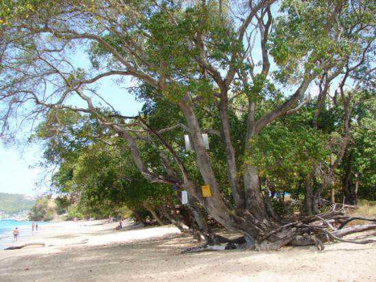 manchineel-tree3-550x412