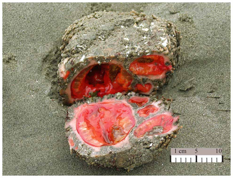 %name Pedra com tripas: O bicho mais bizarro do mundo?