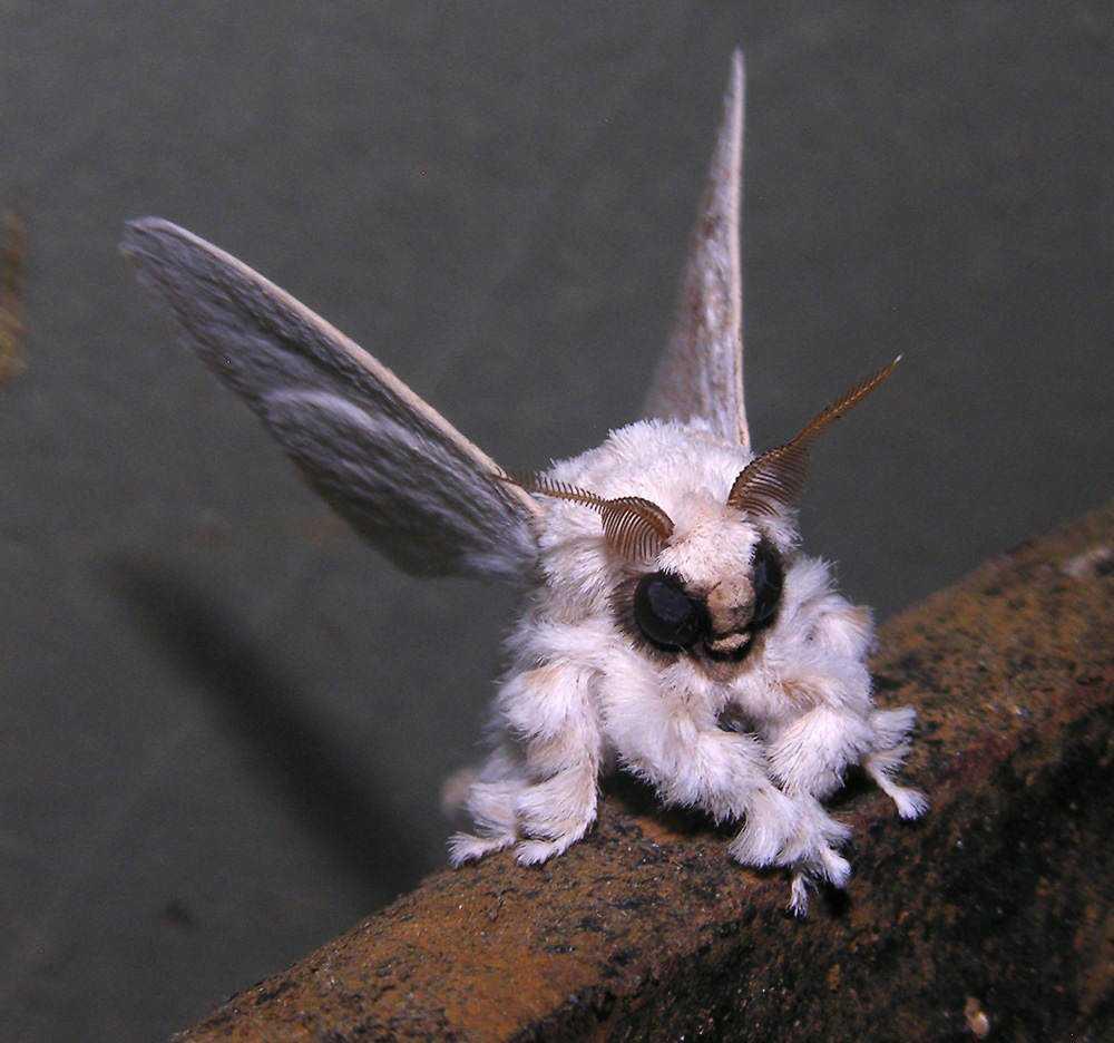 Venezuelan poodle moth, Dr Arthur Anker, Flickr