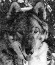 Um dos primeiros cães lobo