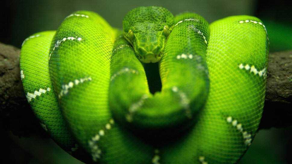 596564  green emerald boa p Dez cobras lindas