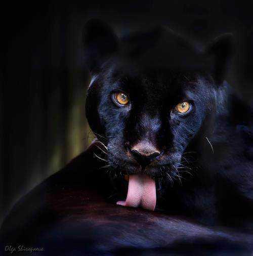a3642145681c40bf54df02bf78bd93b0 Incríveis animais pretos