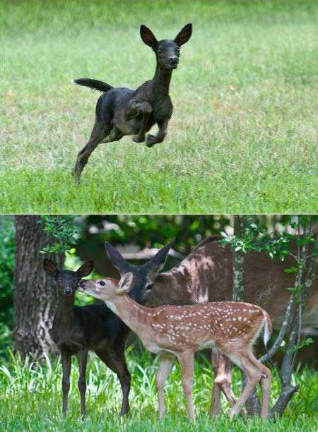 a98232 melanistic 4 fawn Incríveis animais pretos