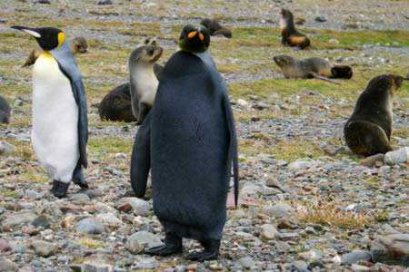 a98232_melanistic_5-penguin