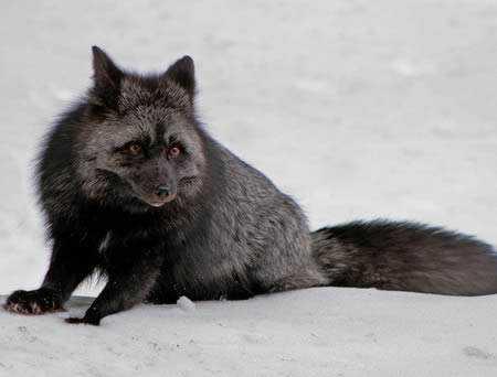 a98232 melanistic 6 fox Incríveis animais pretos