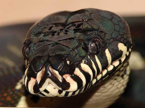 bo3 Dez cobras lindas