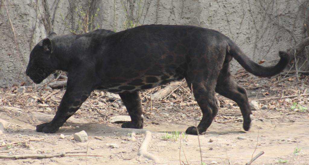 img 9087 Incríveis animais pretos