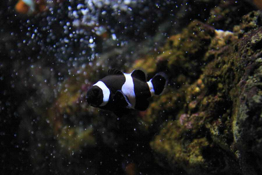 melanistic_clownfish_by_random_person101-d4hgzj5