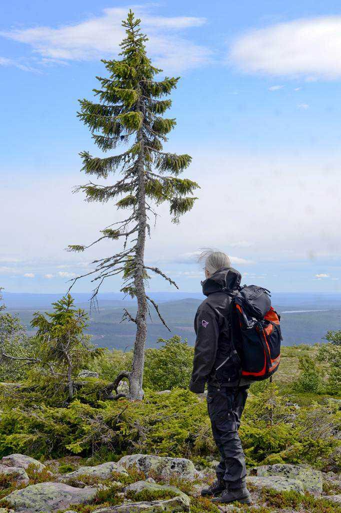 Esqueça os troncos espetaculares. A àrvore mais antiga do mundo é frágil como uma velha de 9.000 anos.