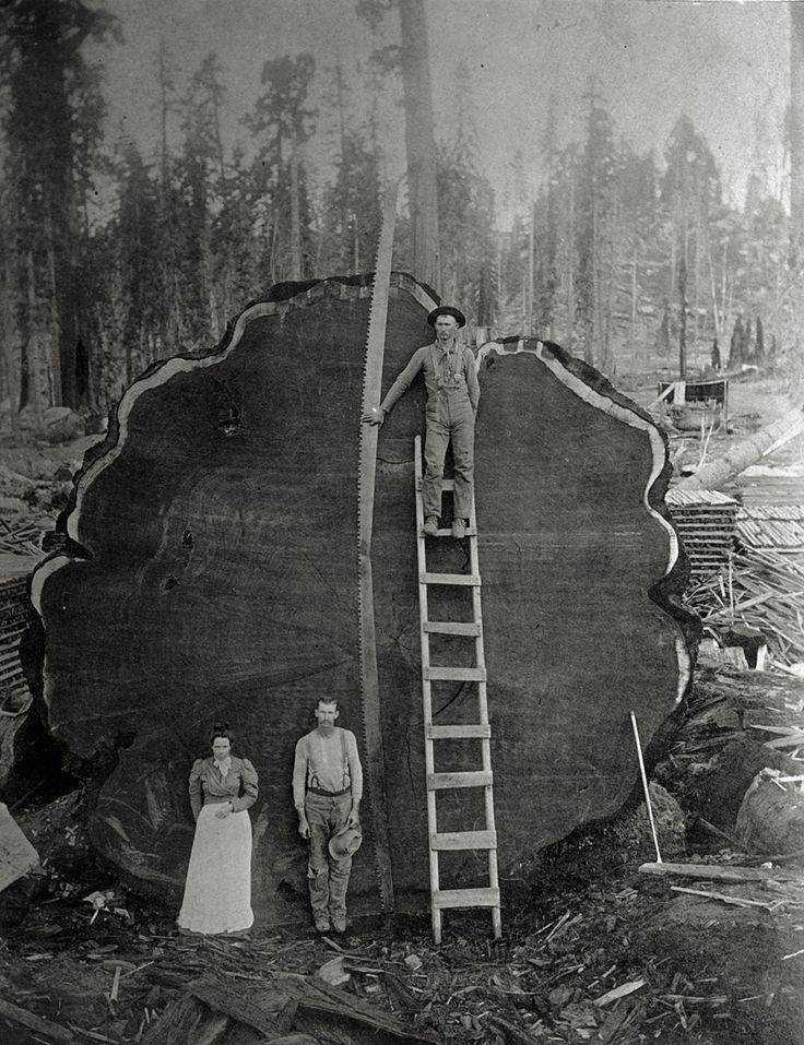 Não sei o que me impressiona mais, se é o tamanho desse tronco ou se é o fato dele ter sido cortado na base do serrotinho.