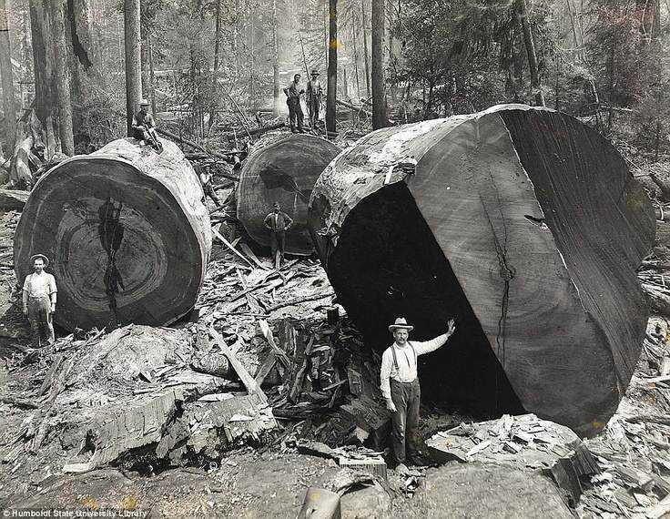 Ao longo de centenas de anos, árvores gigantescas foram tombado diante do progresso