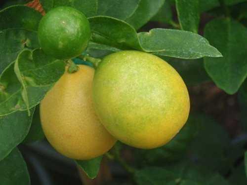 1473 Cruzamentos loucos de frutas que você nunca pensou que existisse