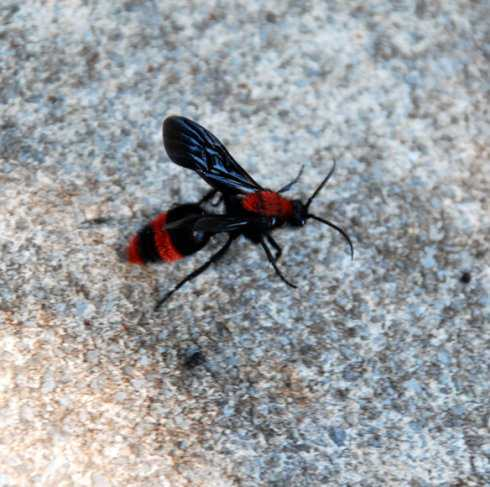 copy_of_velvet_ant_male2