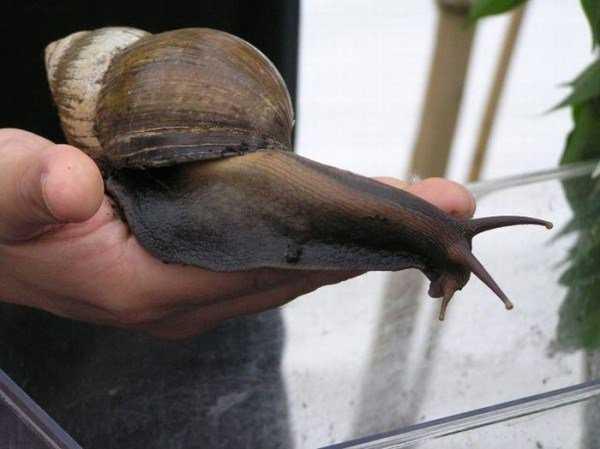 giant_snails_12-600x449
