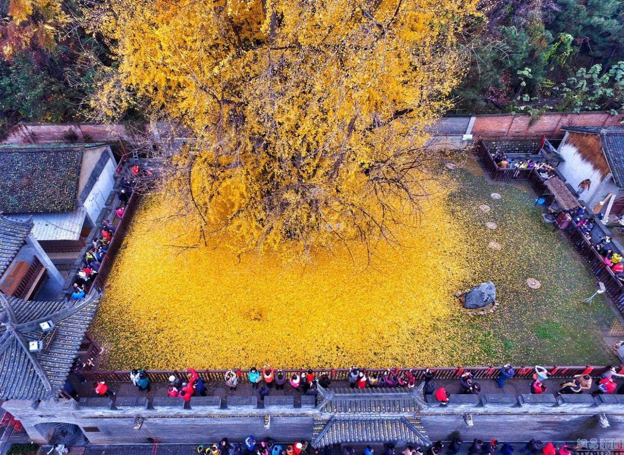 0 19db96 1fa62063 orig Foto Gump do dia: O esplendor da Árvore de Ouro, na China