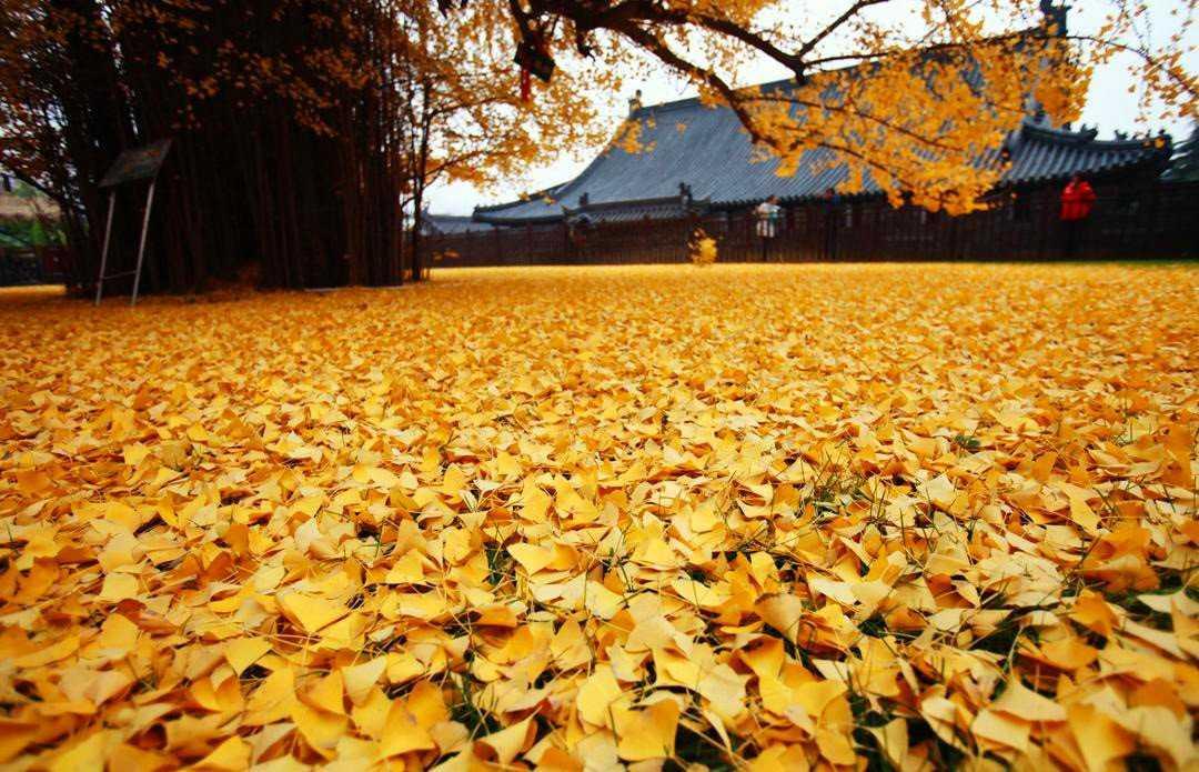 0 19db97 676cabb7 orig Foto Gump do dia: O esplendor da Árvore de Ouro, na China