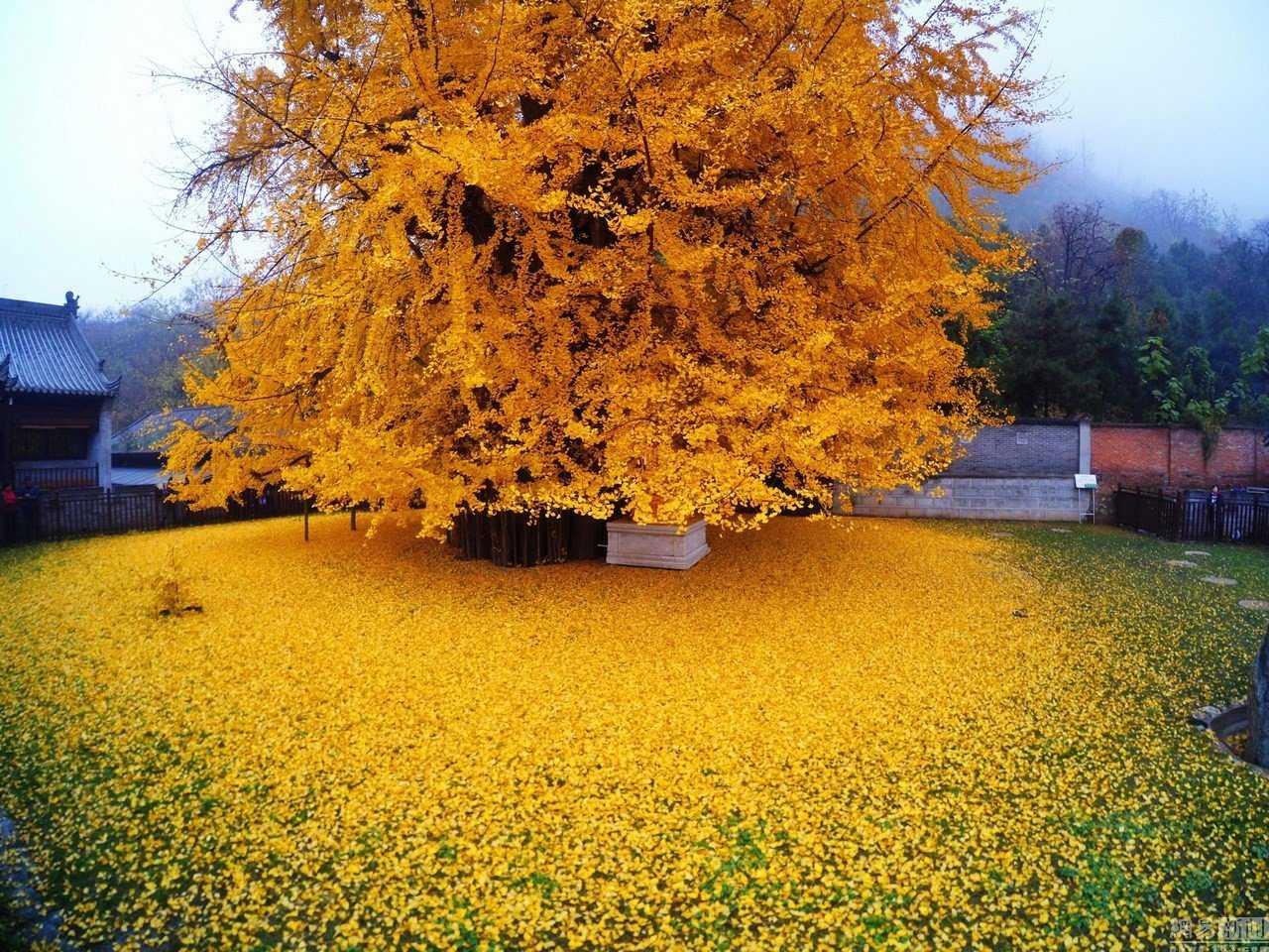 0 19db98 39561fc1 orig Foto Gump do dia: O esplendor da Árvore de Ouro, na China
